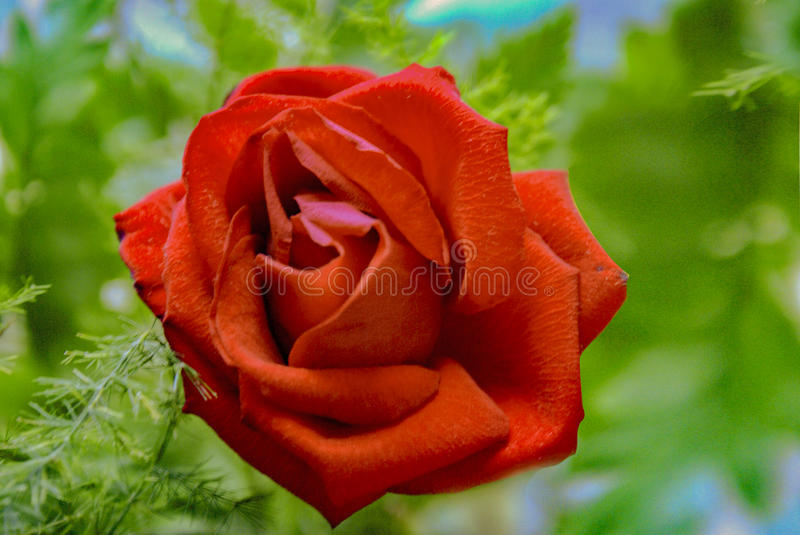 Bright Red blossoming rose. stock images