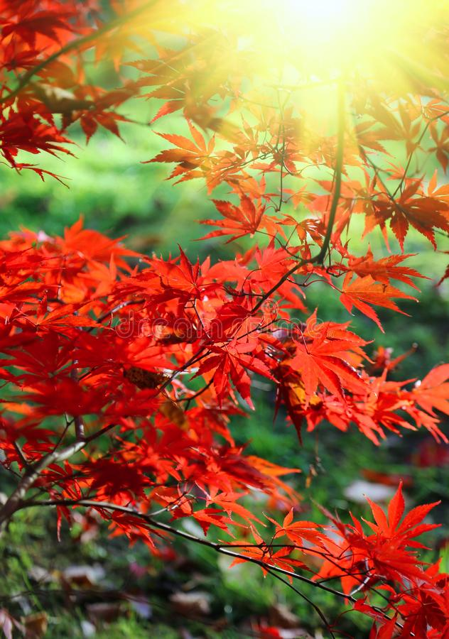 Bright red branches of Japanese maple or Acer palmatum and sunlight. On the autumn garden stock photos