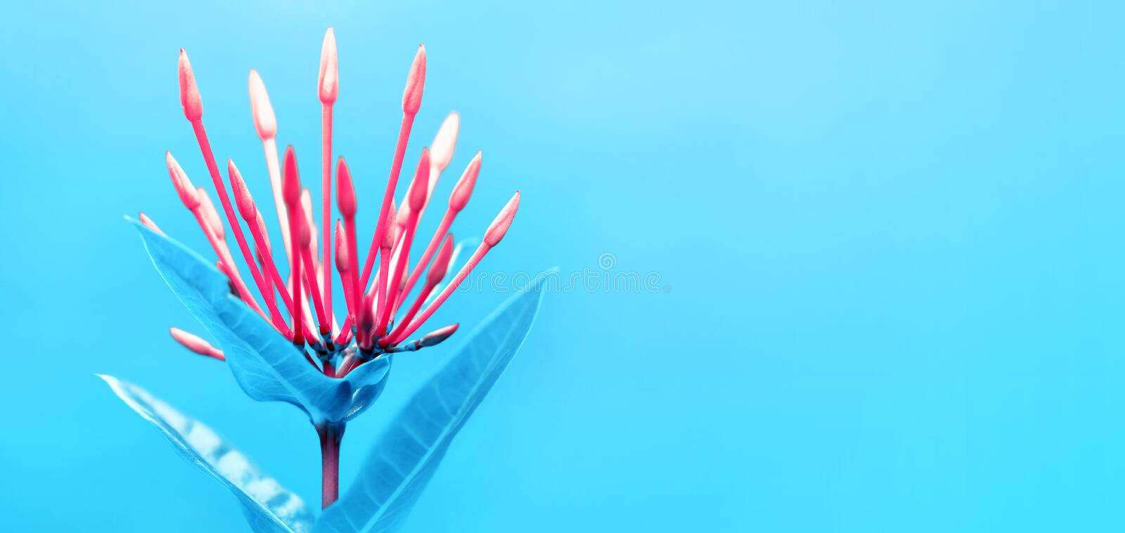 Bright red buds of tropical flowers on a delicate blue background. Summer fresh macro image. royalty free stock image