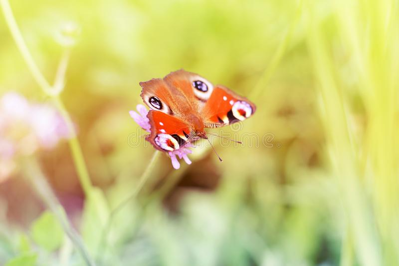 Bright red butterfly sits on a flower in a glade in summer.  royalty free stock image