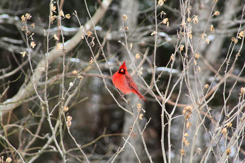 Bright red cardinal bird in winter. Bright red cardinal bird feeder in missouri bird mid flight winter stock images