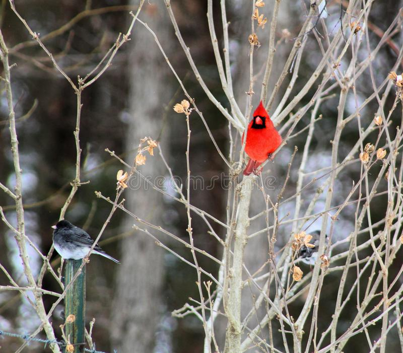 Bright red cardinal bird in winter. Bright red cardinal bird feeder in missouri bird   win wint winte winter royalty free stock photos