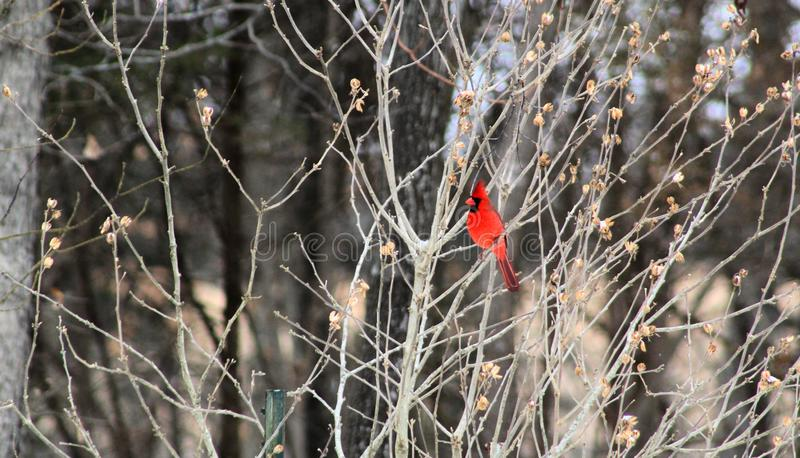 Bright red cardinal bird in winter. Bright red cardinal bird feeder in missouri bird mid flight winter stock photography