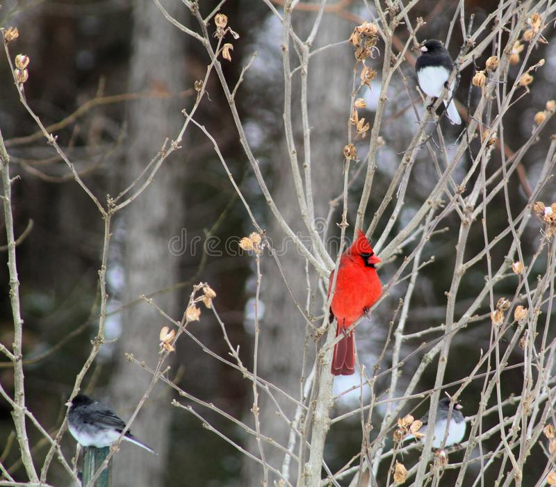 Bright red cardinal bird in winter. Bright red cardinal bird feeder in missouri bird   win wint winte winter stock image