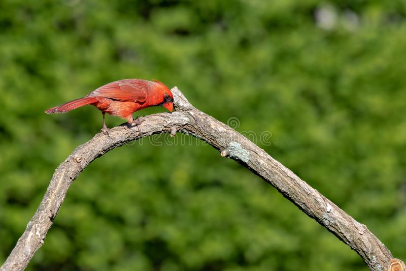 Bright red Cardinalis cardinalis. Northern Cardinal male sitting on a dry branch royalty free stock photos