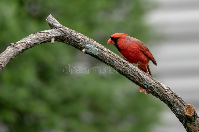 Bright red Cardinalis. Cardinalis, Northern Cardinal male sitting on a dry branch stock image