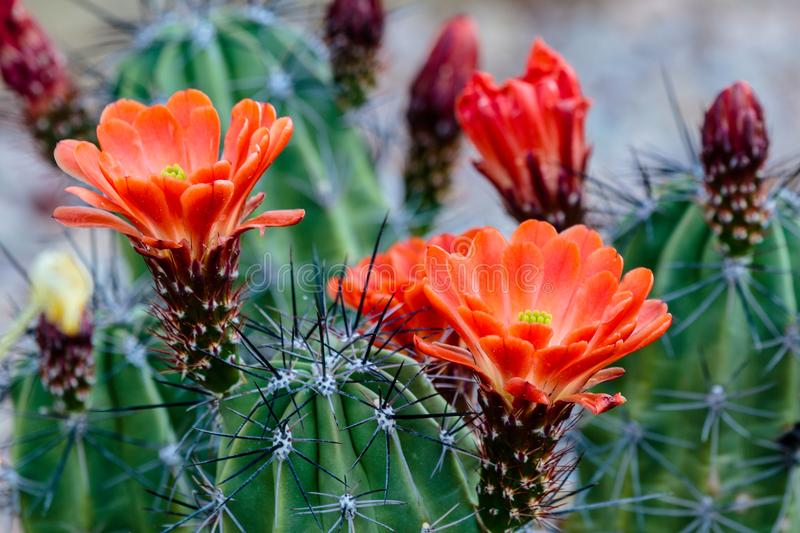Bright red Claret Cup Cactus Blossoms. stock photos