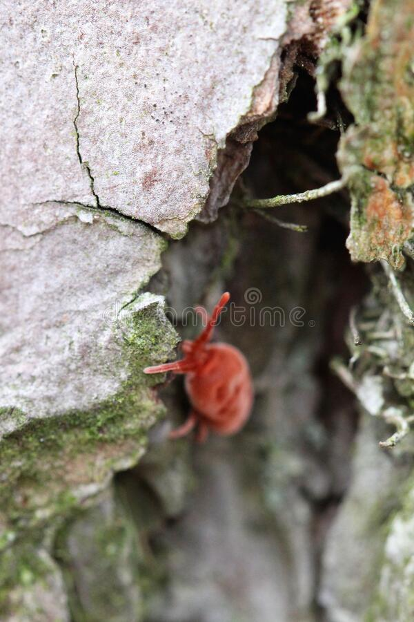 Free Bright Red Clover Mite Crawling Through Gray, Moss-tinged Pine Bark Royalty Free Stock Image - 183228886