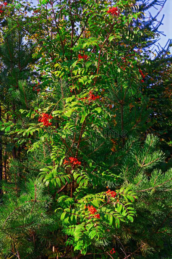 Bright red clusters of mountain ash.The background. Beautiful green natural sour unripened round berries of mountain ash on a branch of a rowan tree with green royalty free stock photo