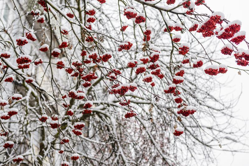 Bright red clusters of mountain ash. Covered with the first fluffy snow royalty free stock photo