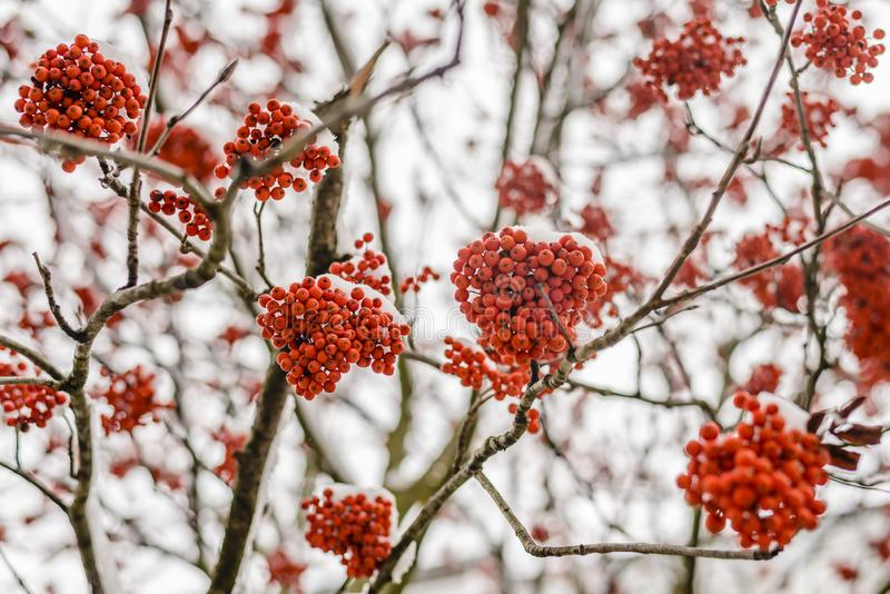 Bright red clusters of mountain ash. Covered with the first fluffy snow royalty free stock images