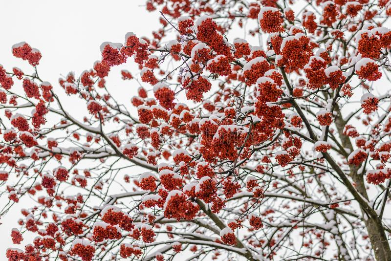Bright red clusters of mountain ash. Covered with the first fluffy snow stock image