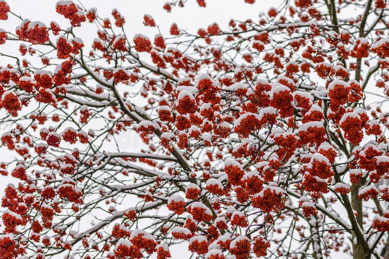 Bright red clusters of mountain ash. Covered with the first fluffy snow royalty free stock image