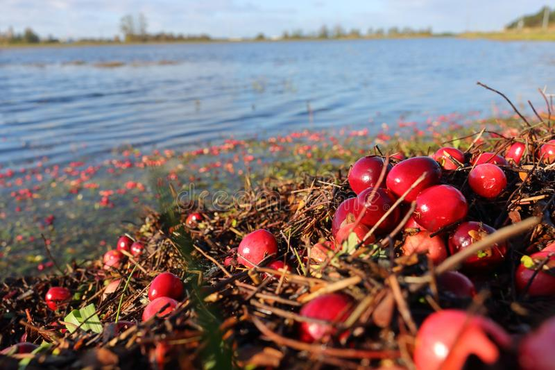 Unpicked Cranberries and Flooded Field royalty free stock photography