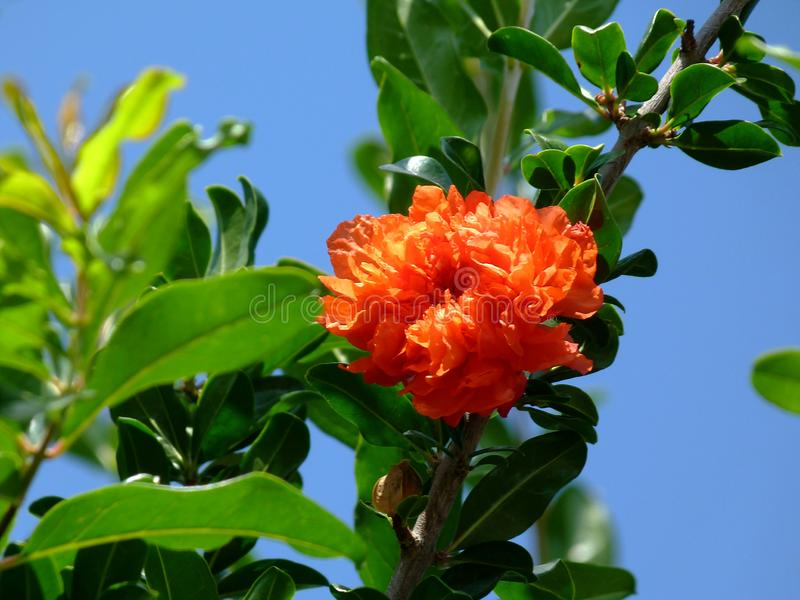 Bright red and deep green pomegranate tree branch with blooming flower royalty free stock photography