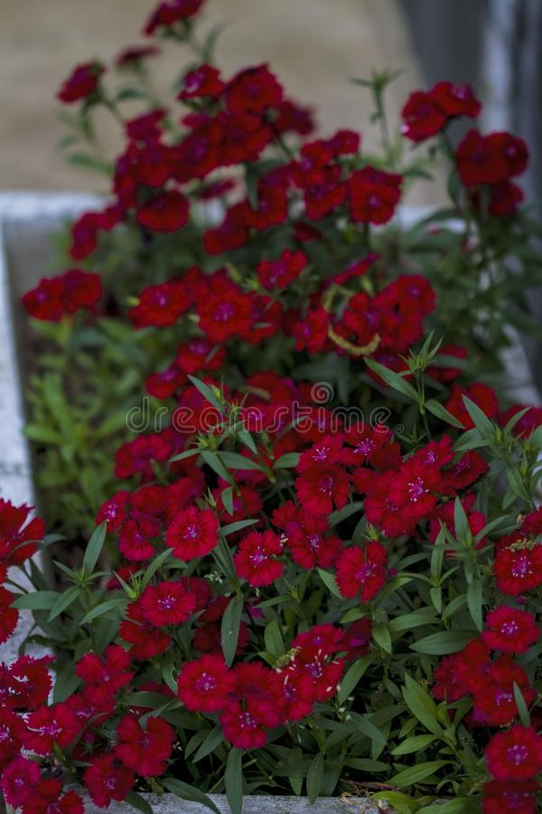 Bright Red Dianthus Blossoms. These are the bright red flowers of dianthus, sometimes called pinks even though some are not pink colored but red stock photos