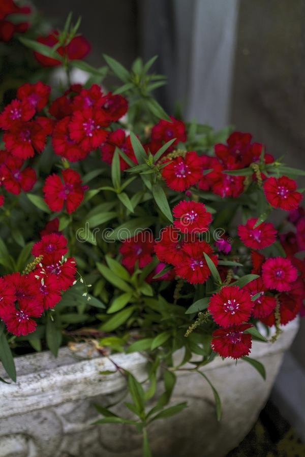 Bright Red Dianthus Blossoms. These are the bright red flowers of dianthus, sometimes called pinks even though some are not pink colored but red stock photography