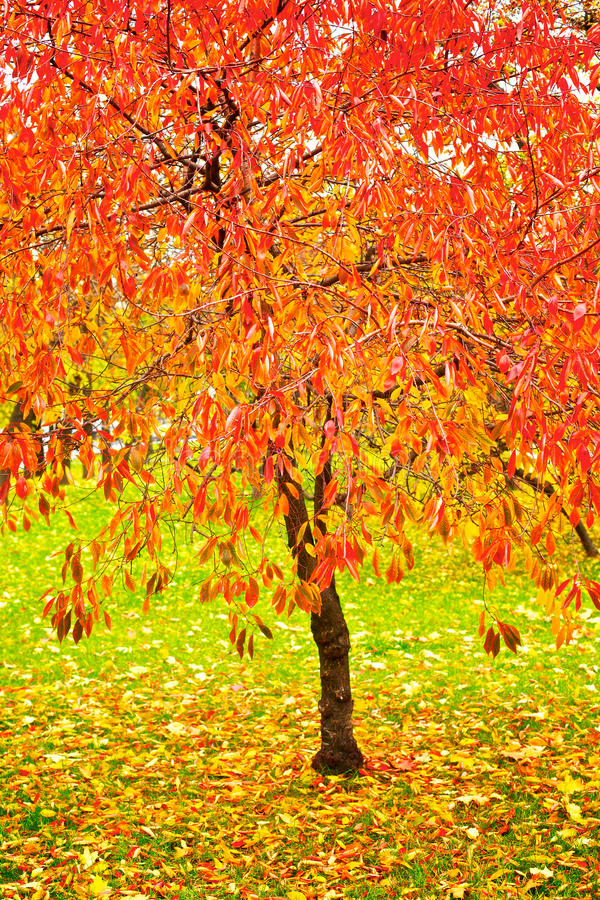Download Bright Red Fall Leaves Stock Photo - Image: 14794010