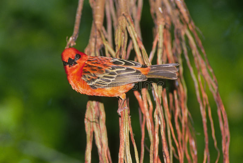 Download Bright red finch stock image. Image of finch, colorful - 18082289