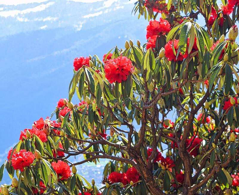 Bright Red Flower, Green Leaves, and Branches of Rhododendron Arboreum Tree with Himalayas in Background, India stock photos