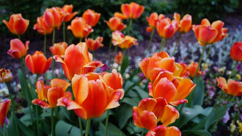 Red and orange tulips in the garden royalty free stock images