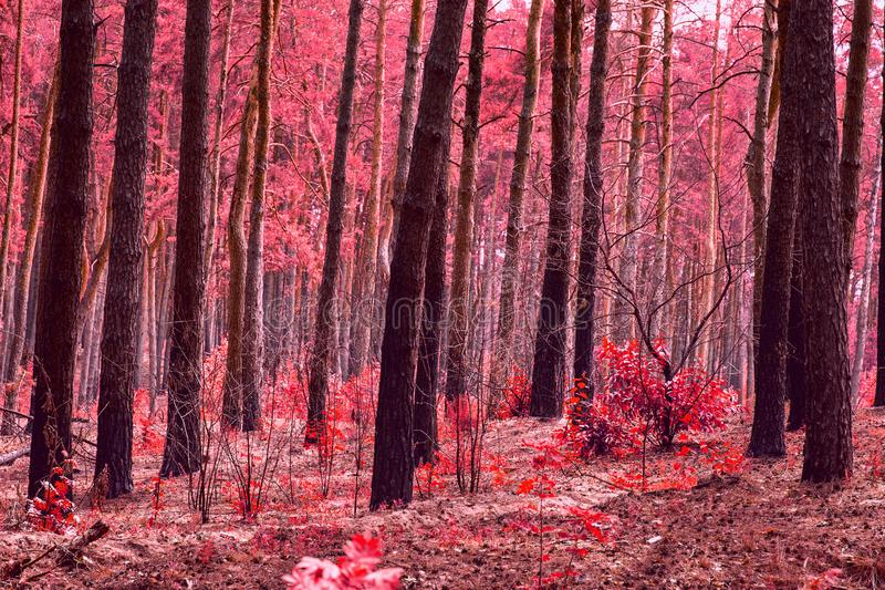 Bright and red forest magic autumn mysterious wilderness no one around stock photography