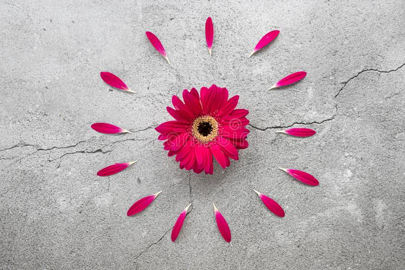 A bright red gerbera daisy with circular red petals pattern royalty free stock photography
