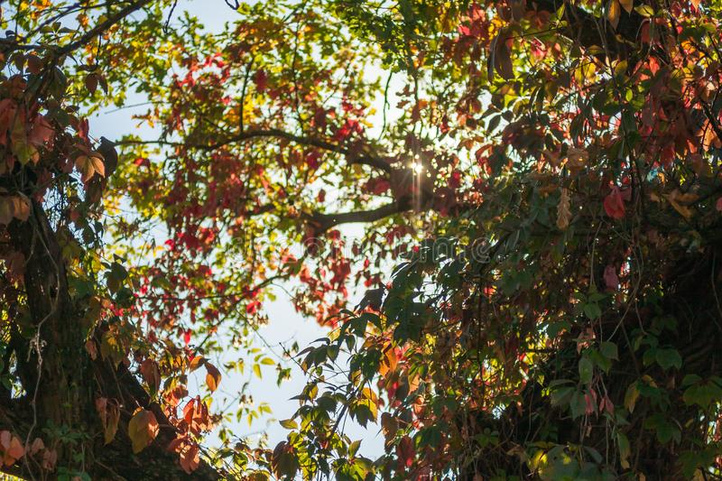 Bright red and green leaves of wild grapes ivy on the blue sky and sunlight background royalty free stock photos