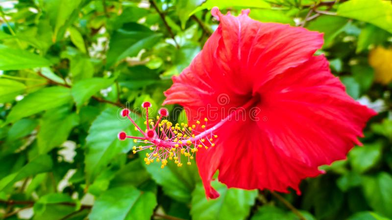 Bright red hibiscus flower in the Maldives. royalty free stock photo