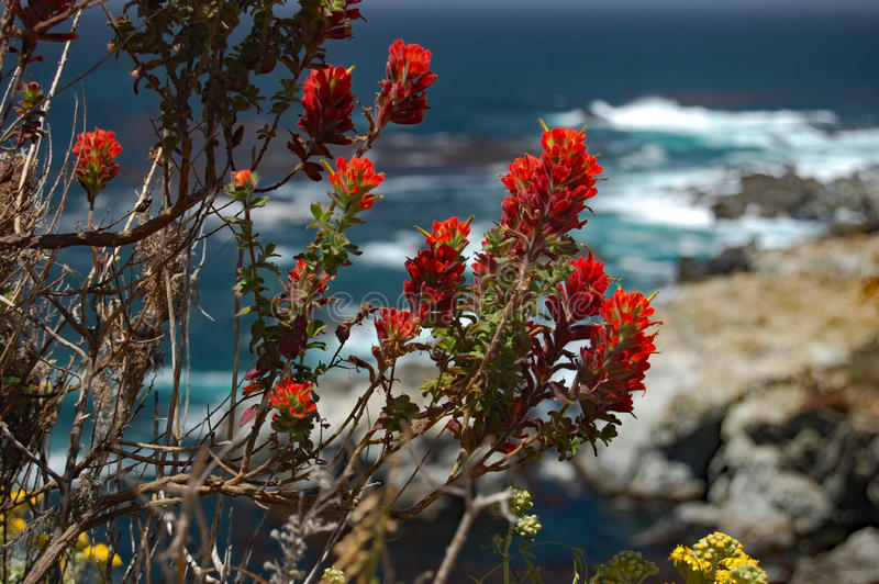Bright red Indian paintbrush on California coast stock images
