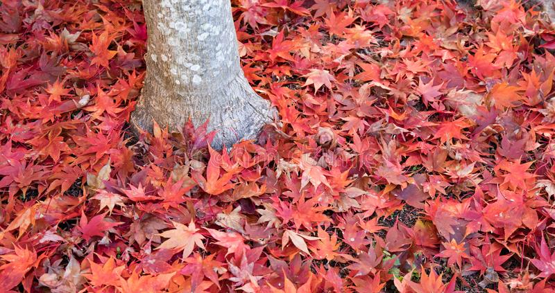 Bright red japanese maple leaves scattered around the base of a tree trunk. stock images