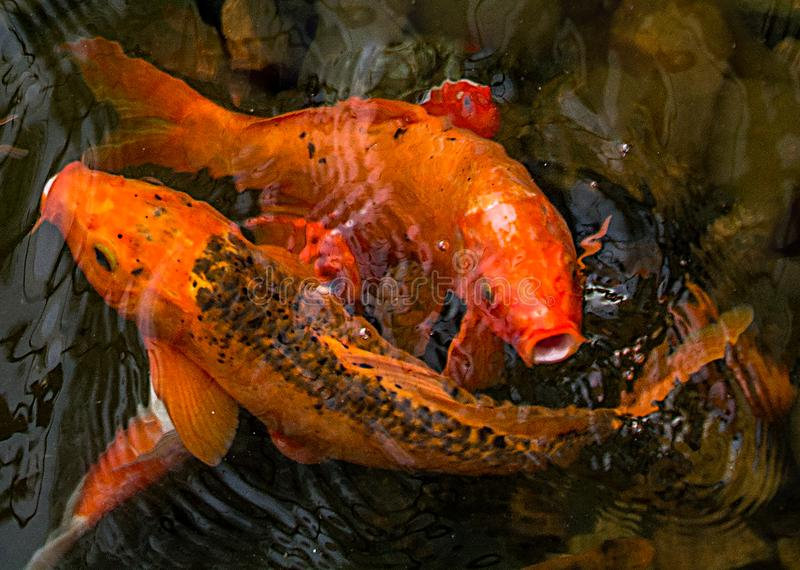 Bright red Koi fishes swim in an open pond, red, white and orange fish in open water royalty free stock photos