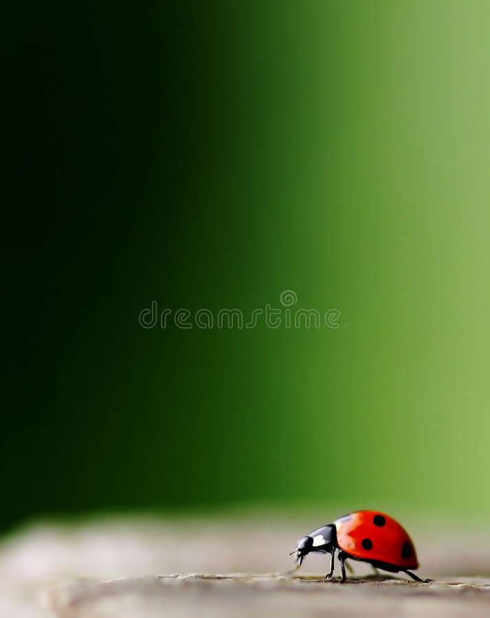 Download Bright Red Lady Bug stock photo. Image of macro, black - 5603522