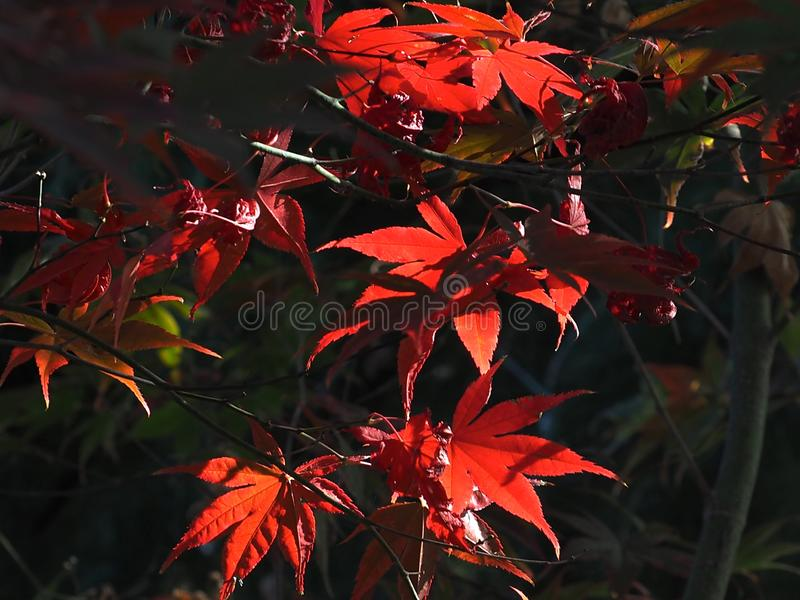 Japanese Maple Or Acer Palmatum Leaves. Bright red leaves against a dark background on a Japanese maple or Acer palmatum tree royalty free stock photo