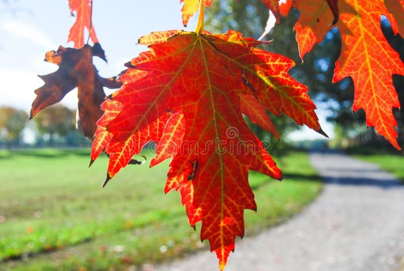 Red leaves before falling from the tree royalty free stock photos