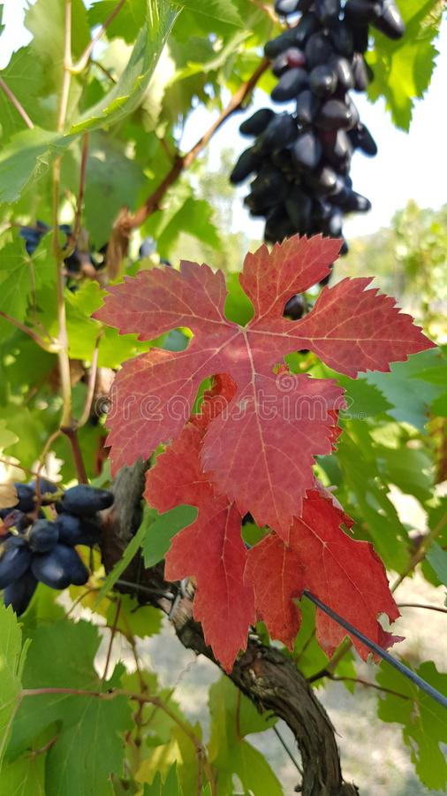 Bright red leaves of grapevine at vineyard in countryside. Autumn leaf closeup with blurry green foliage and bunches of blue grape royalty free stock photography