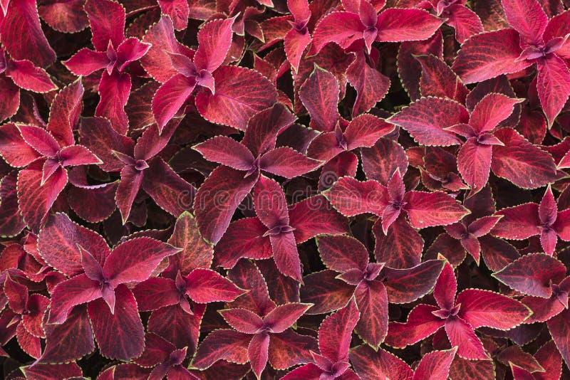 Bright red leaves of perennial plant coleus, plectranthus scutellarioides. Decorative red velvet coleus fairway plants. Background stock images