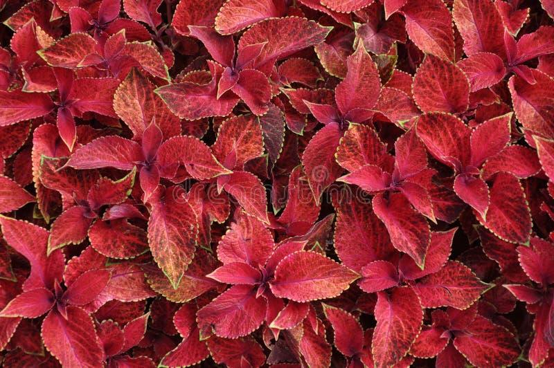 Bright red leaves of perennial plant coleus, plectranthus scutellarioides. Decorative red velvet coleus fairway plants royalty free stock image