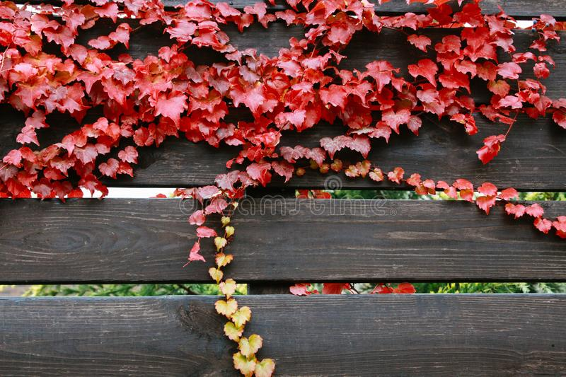 Bright red leaves of wild grapes on the wooden brown background. Background texture of leaves of wild grapes. stock photos