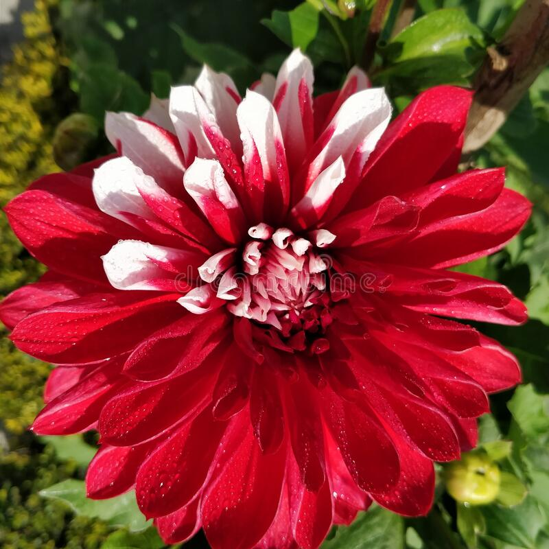 Bright red and light pink coloured dahlia flower with the morning dew drops on it in the garden. Bright red and light pink coloured dahlia flower with the stock image