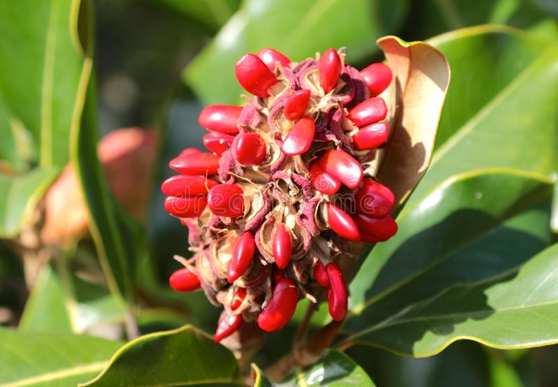 Magnolia tree seeds. Opened on their pod these magnolia tree seedlings are ready to flower stock photo