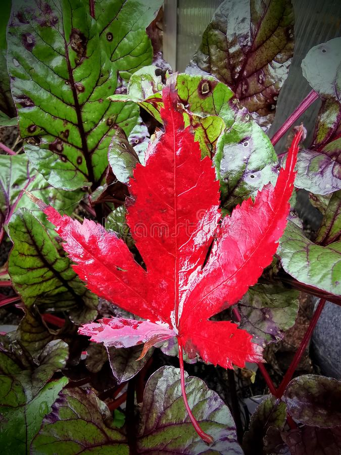 Bright red maple leaf on dark green foliage stock photos