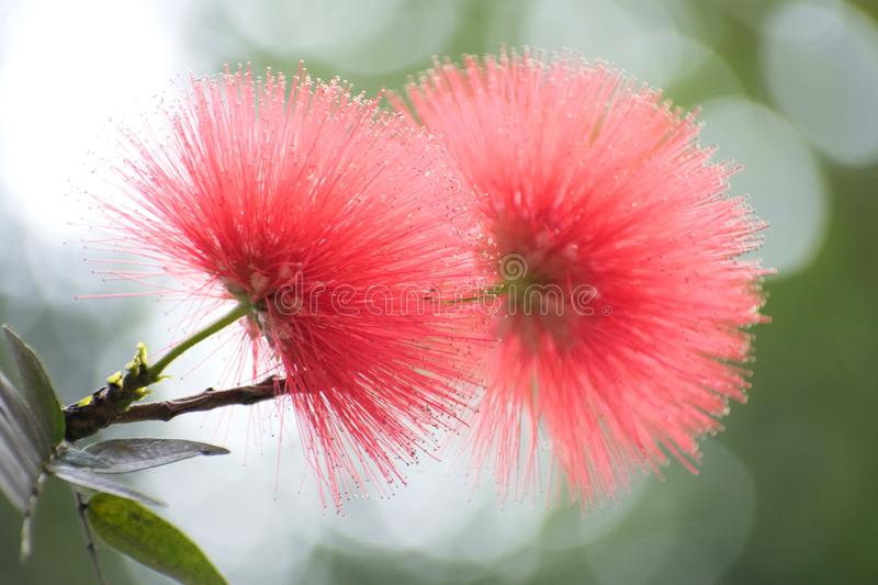 The Bright Red Mimosa flower Mimosoideae. The Bright Red color Mimosa blooms are in sharp contrast to the soft shady background royalty free stock photos
