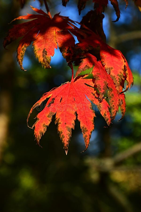 Bright Red Fall Leaves Of Christmas Berry, Also Called ...