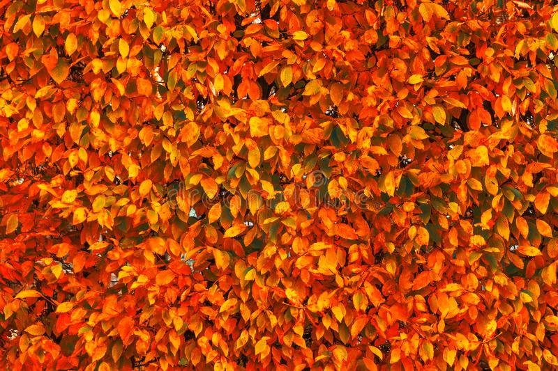 Bright red and orange autumn fall leaves background. Colorful an royalty free stock photos