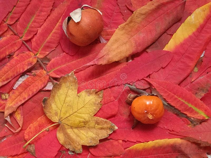 Bright red and orange autumn fall leaves background. Colorful and bright wall with autumn red and orange leaves stock photography