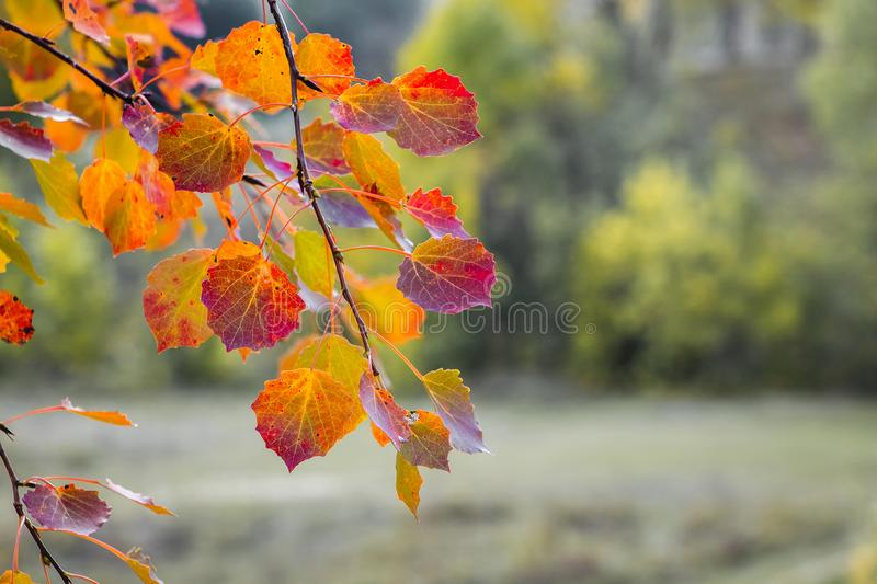 Bright red and orange leaves on the aspen branches on the background of the forest_ royalty free stock photo