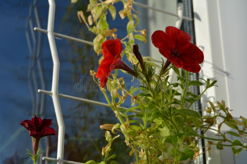 Bright red petunia flowers near the window. Balcony greening.  stock images