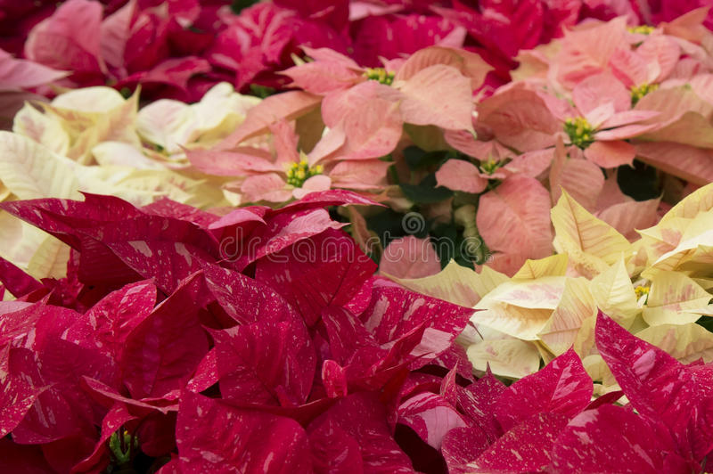 Bright red and pink poinsettia or christmas flower stock photos
