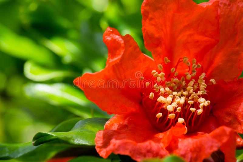 Bright Red Pomegranate flower Punica granatum. Its sweetish tangy bloom odor with a nuance of dark fruit is used in perfumery as. Fragrance note stock photos